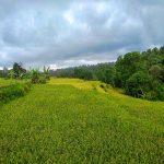 rice fields near Rinjani